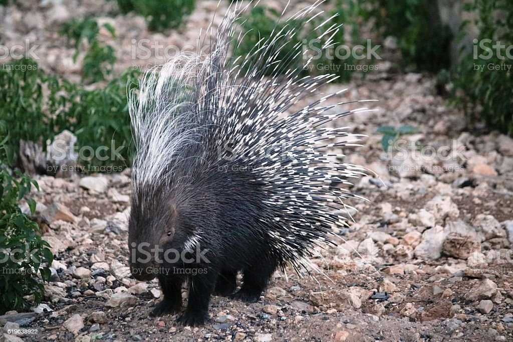 Common porcupine in Namibia, Africa stock photo