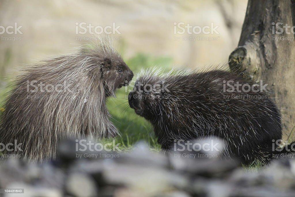 common porcupine royalty-free stock photo