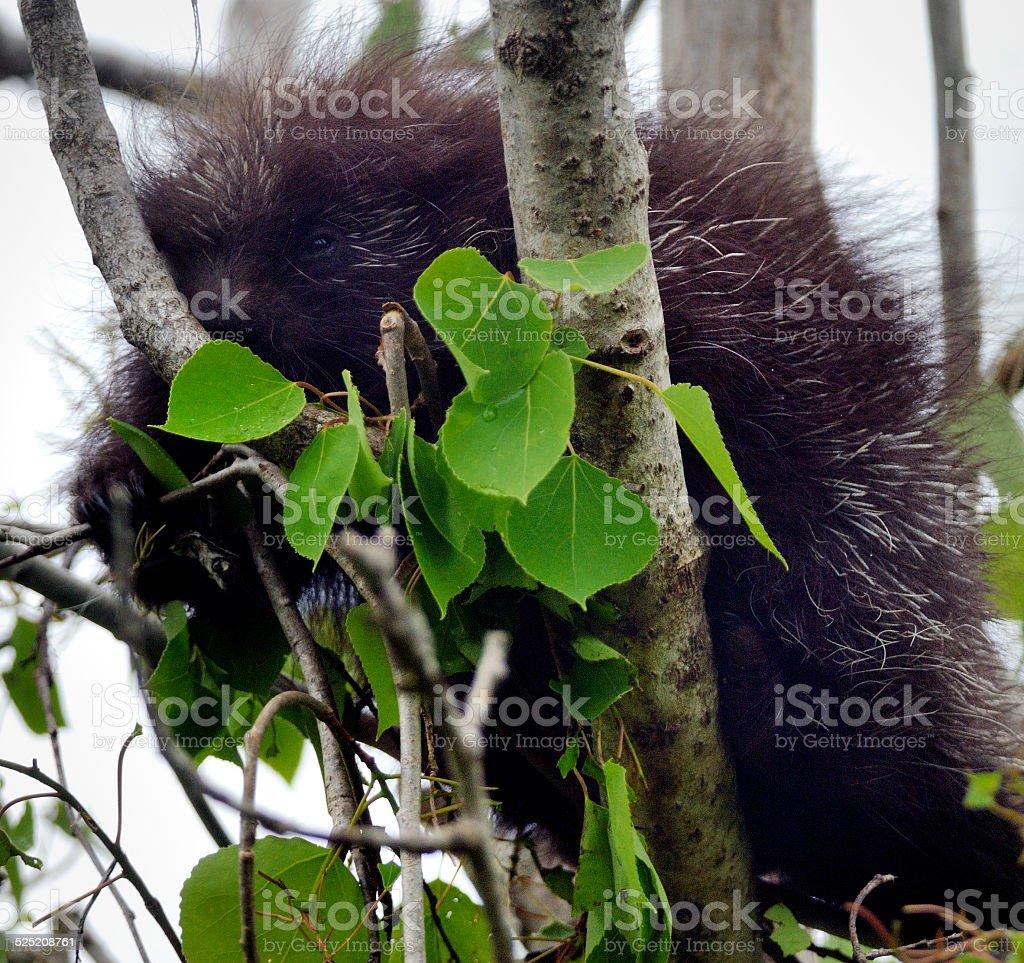 Common Porcupine stock photo