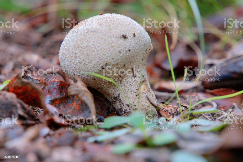 Common puffball Lycoperdon perlatum stock photo
