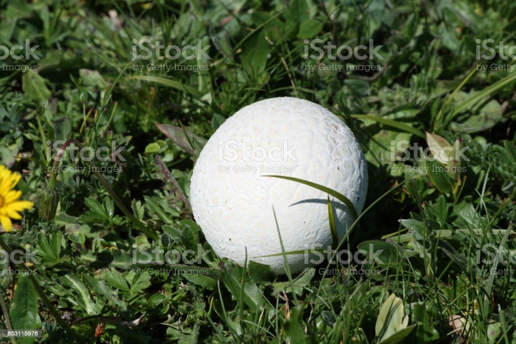 common puffball or warted puffball Mushroom stock photo