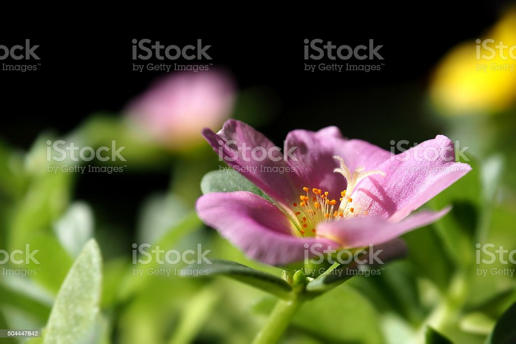 Common Purslane blooming in pink stock photo