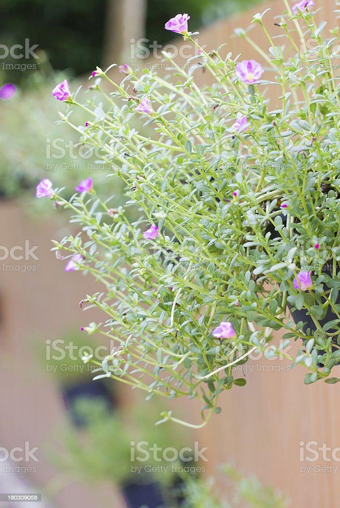Common Purslane. stock photo