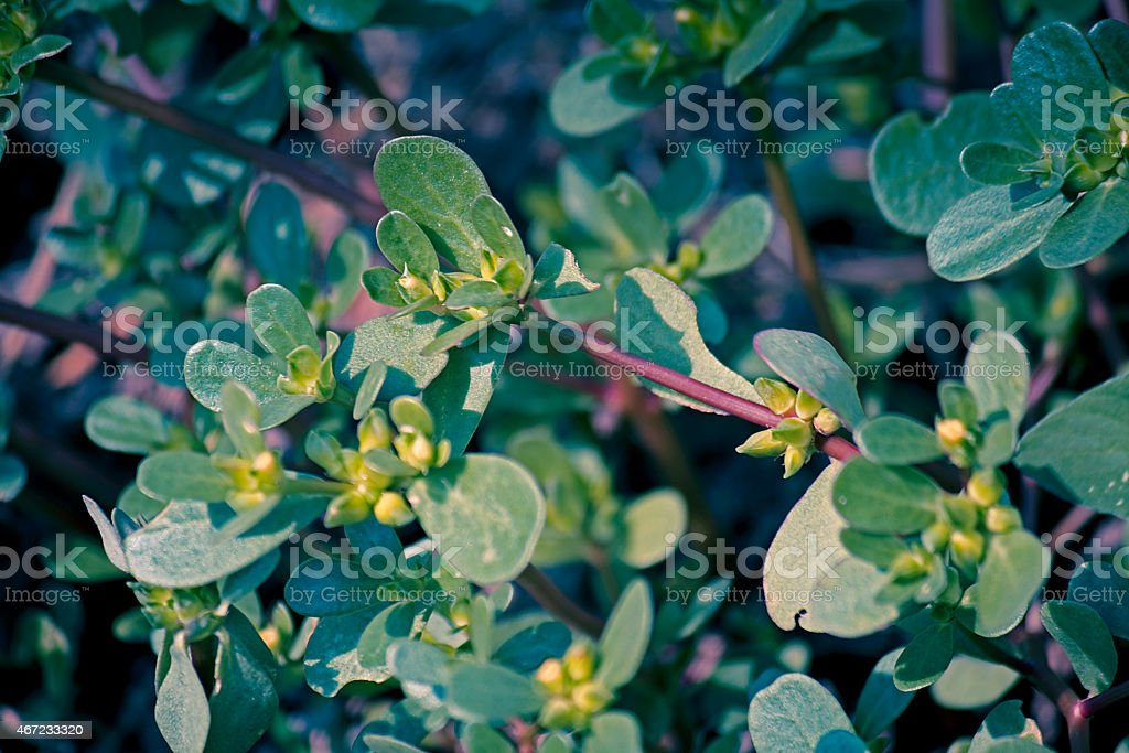 Common Purslane Portulaca oleracea stock photo