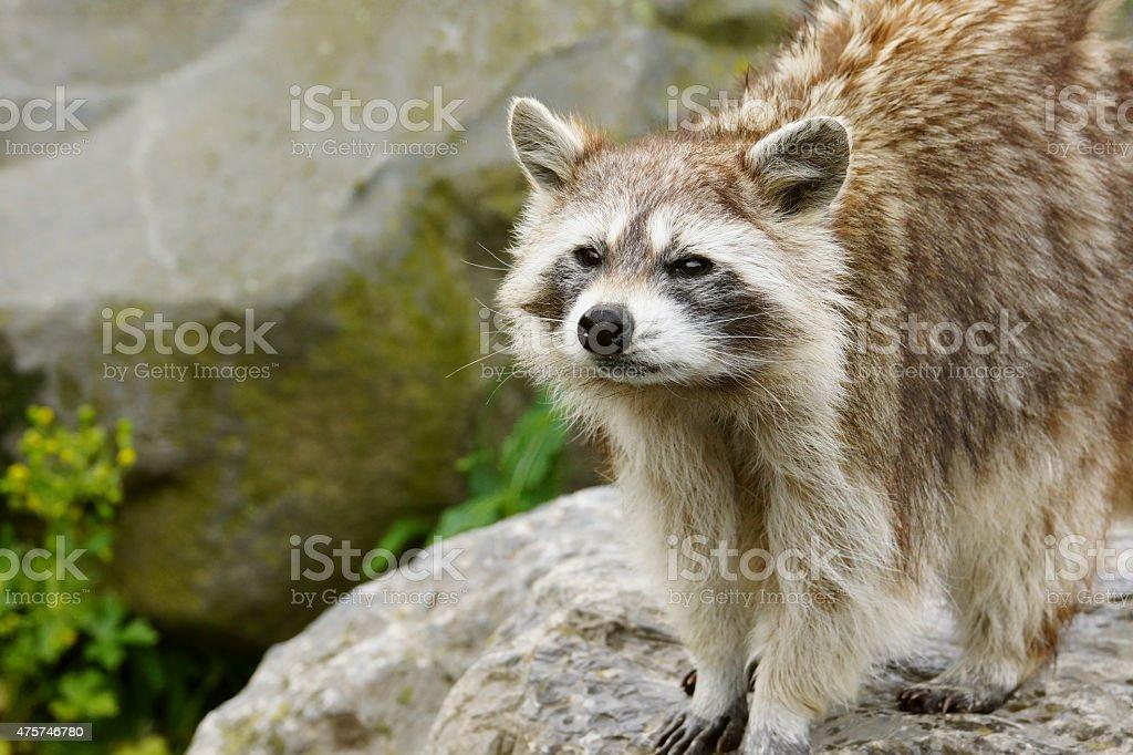 Common Raccoon stock photo