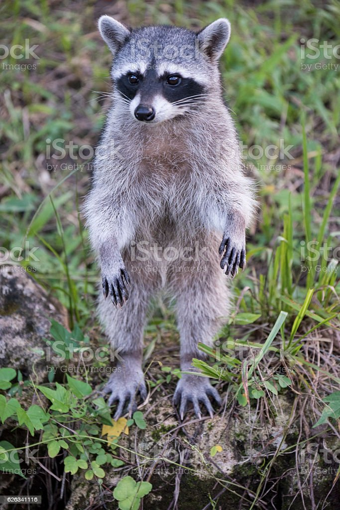 Common Raccoon stock photo