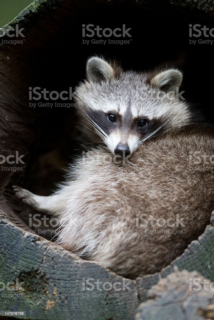Common raccoon - Procyon lotor royalty-free stock photo