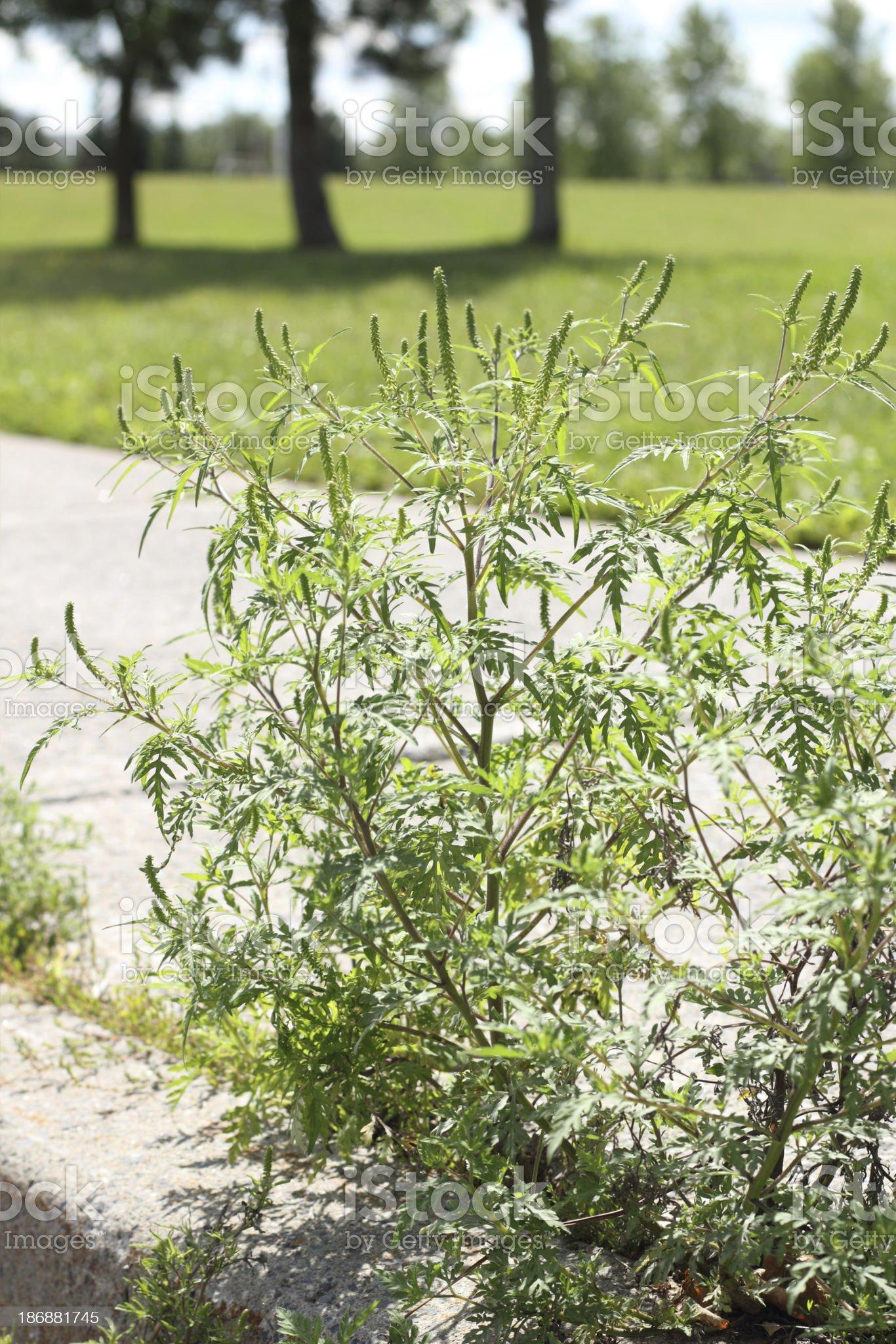 Common ragweed in suburban setting royalty-free stock photo