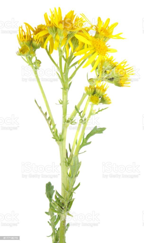 Common ragwort (Jacobaea vulgaris) isolated on white background. Medicinal plant stock photo