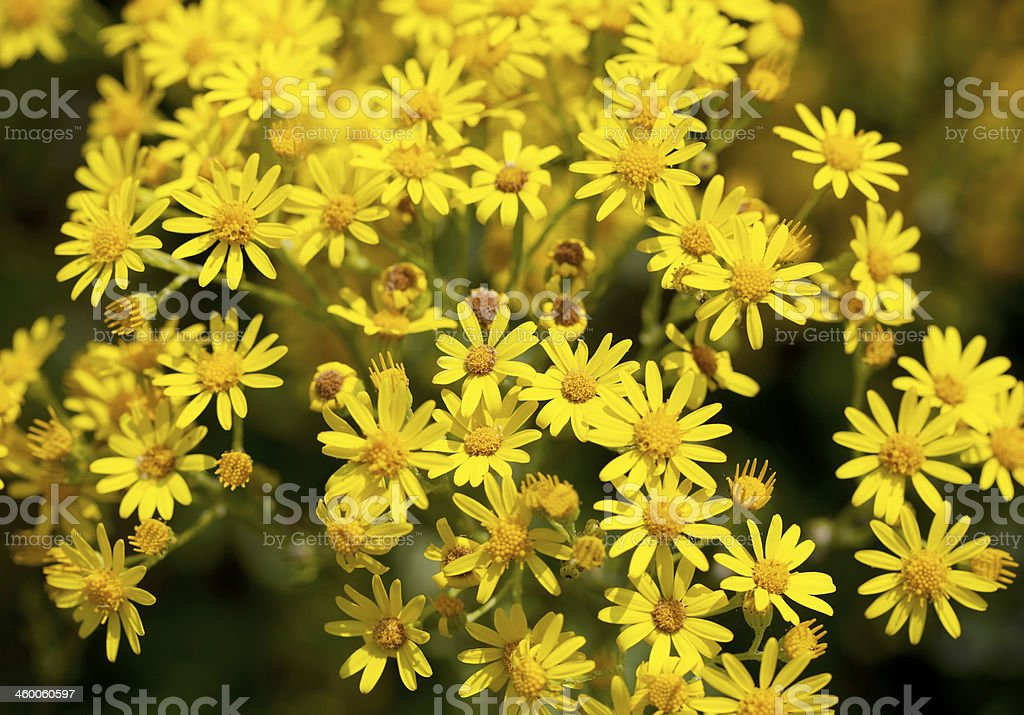 Common Ragwort (Senecio jacobaea) stock photo