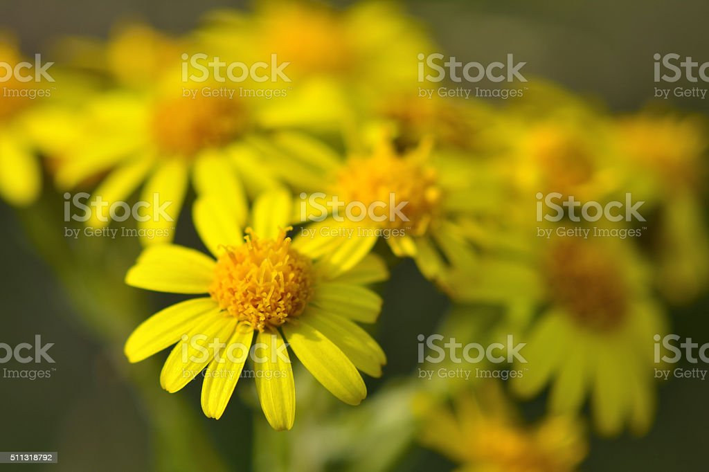 Common ragwort (Senecio jacobaea) stock photo
