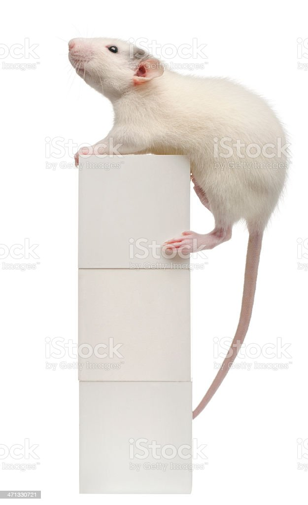 Common rat, four months old, on box, white background. royalty-free stock photo