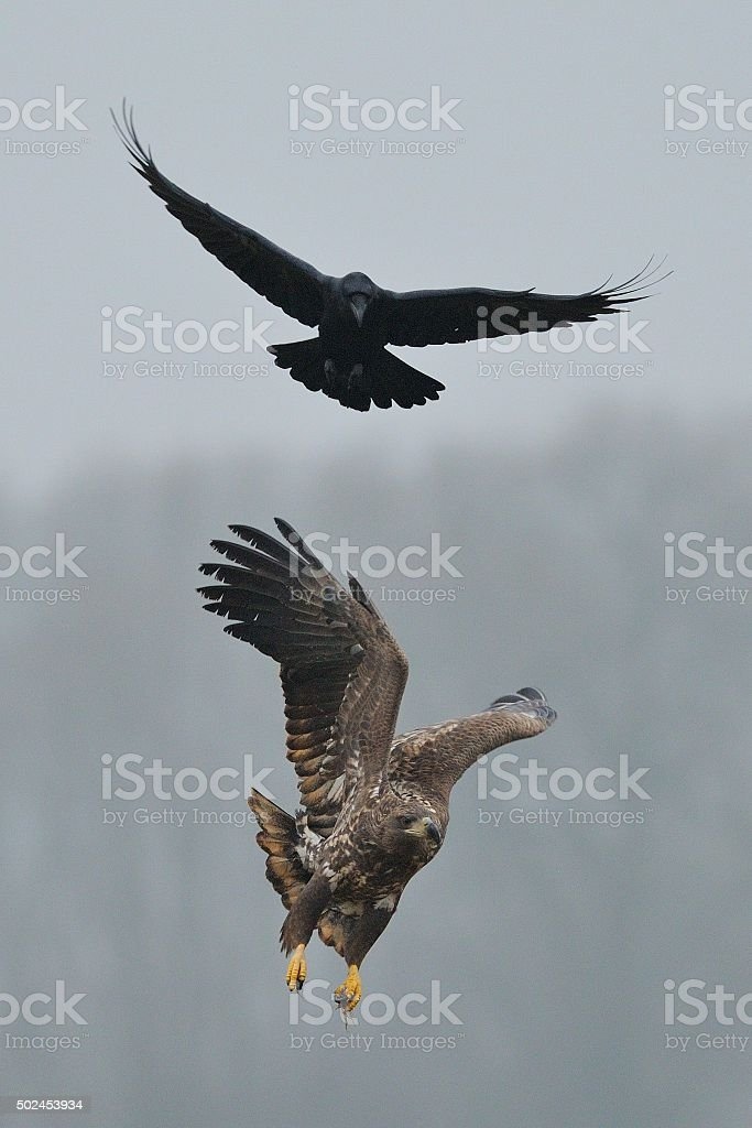 Common raven and White tailed sea eagle stock photo