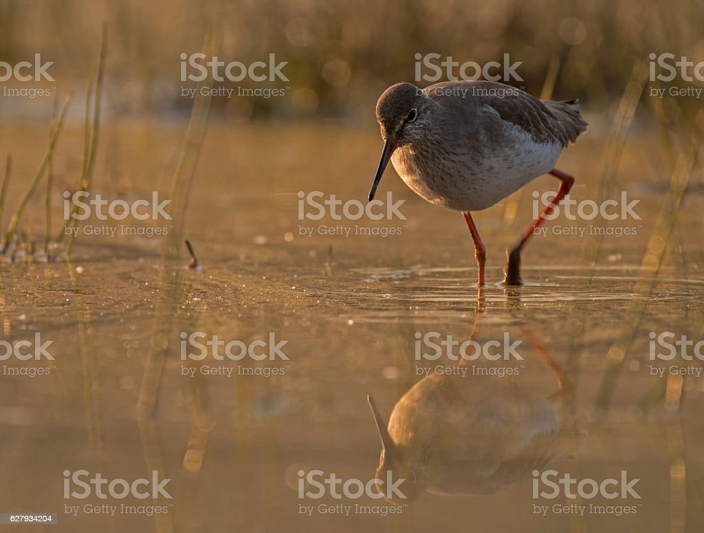 Common Red shank stock photo
