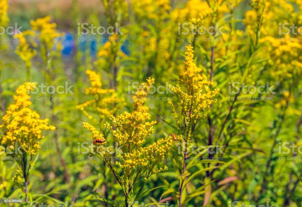 Common red soldier beetle visits a yellow flowering goldenrod plant stock photo