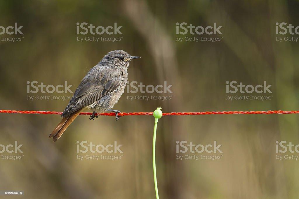 Common redstart bird female, France stock photo