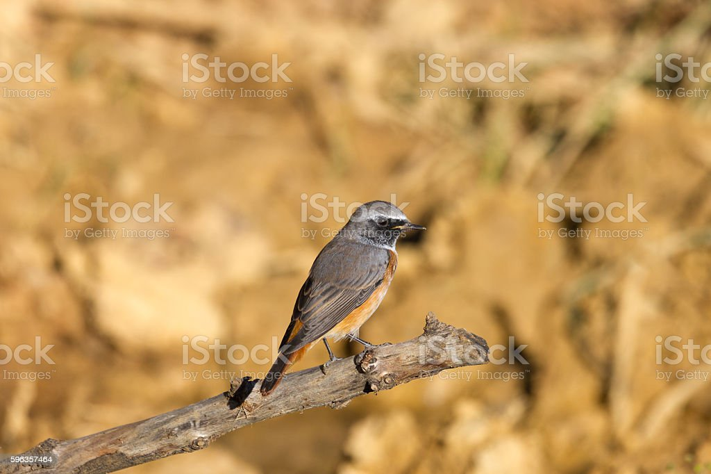 Common redstart, Phoenicurus stock photo