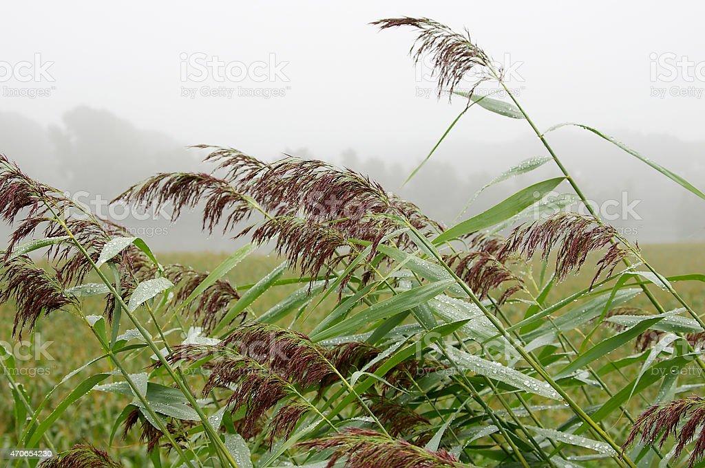 Common Reed (Phragmites australis) after rain stock photo