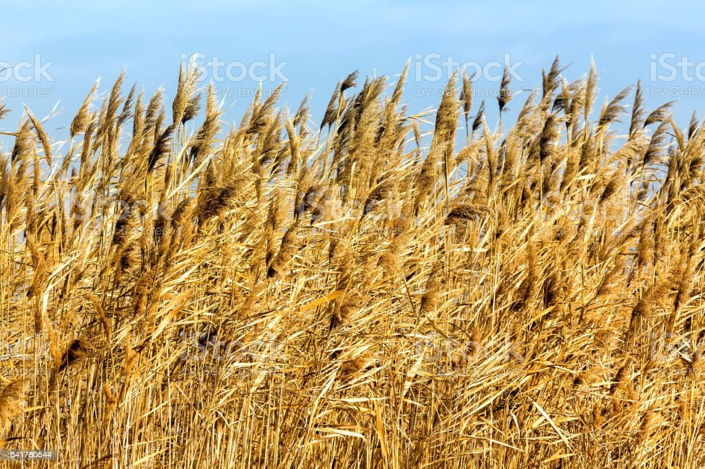 common reed (phragmites australis) bending with the wind stock photo