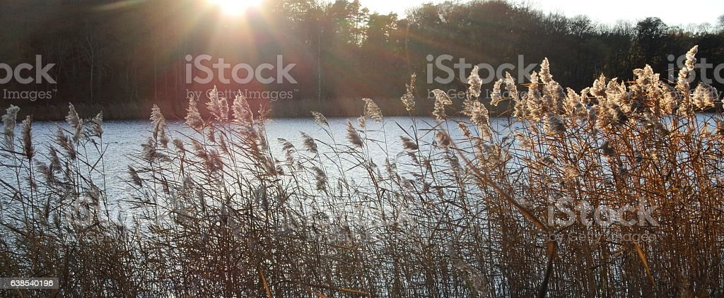 Common reed in sunny weather stock photo