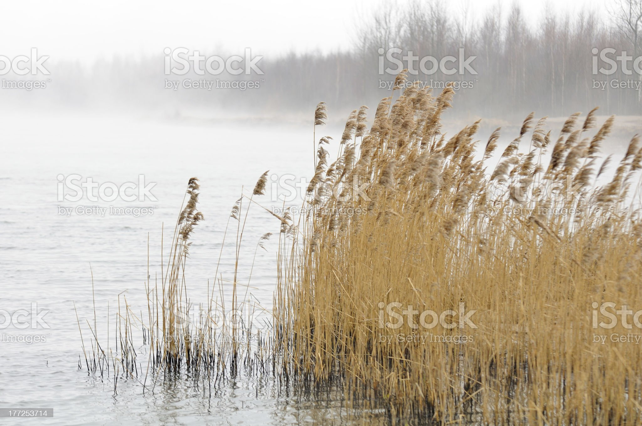 Common Reed (Phragmites) in the River royalty-free stock photo