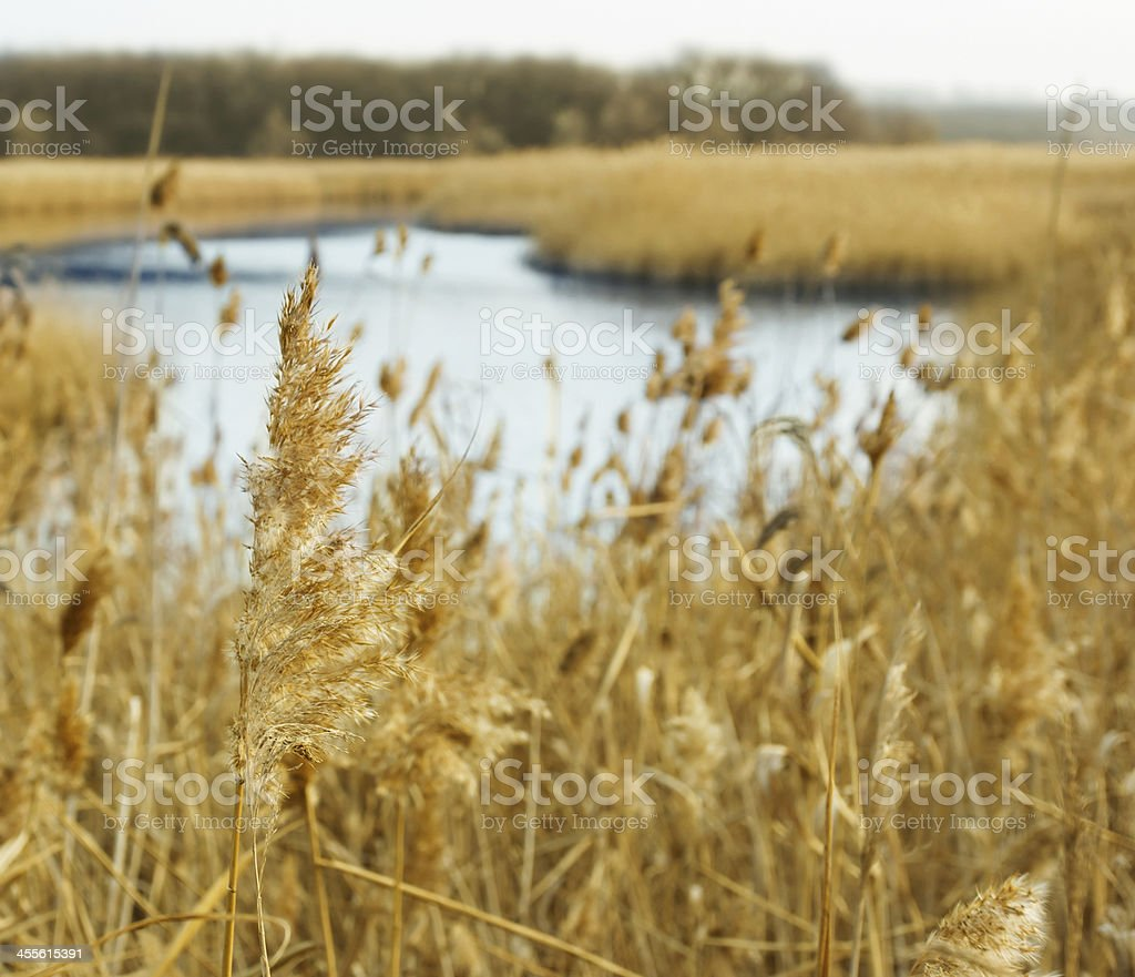 Common reed royalty-free stock photo