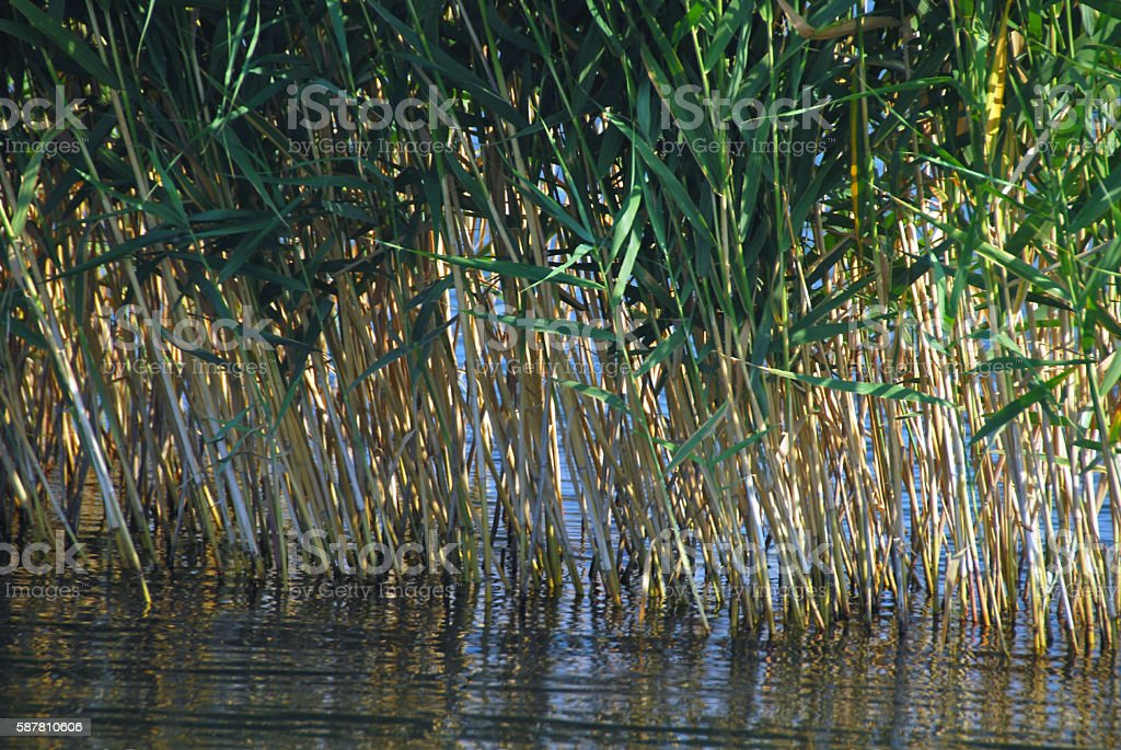Common reed standing in Brackish water. stock photo