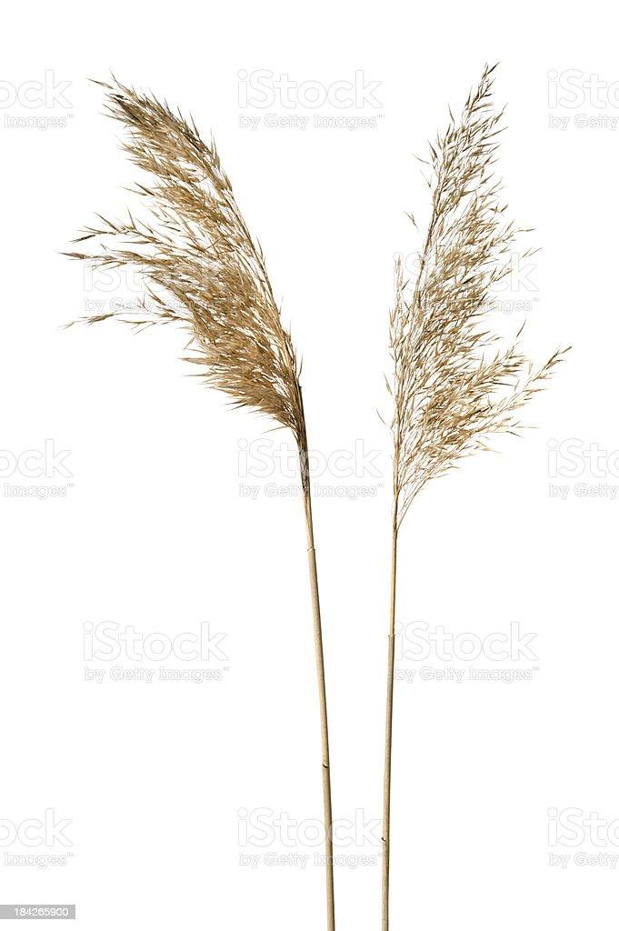 Common reeds on white background stock photo