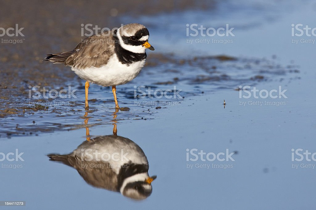 Common Ringed Plover stock photo