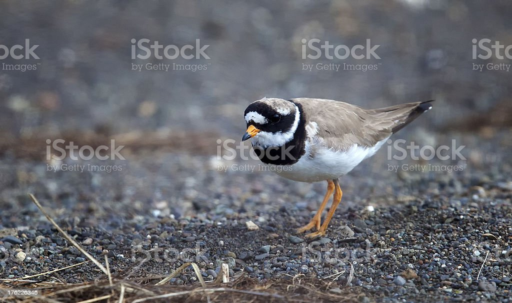 Common  Ringed Plover  (Charadrius hiaticula) - Sandregenpfeifer stock photo