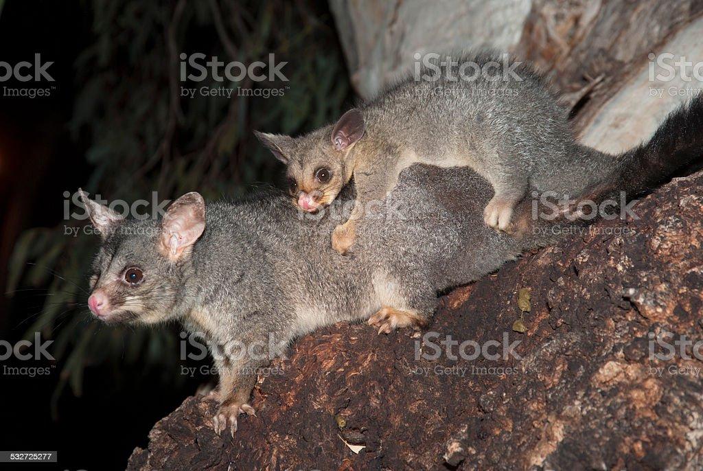 common ring-tailed possum stock photo