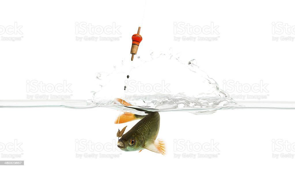 Common roach under water caught on a hook, struggling stock photo