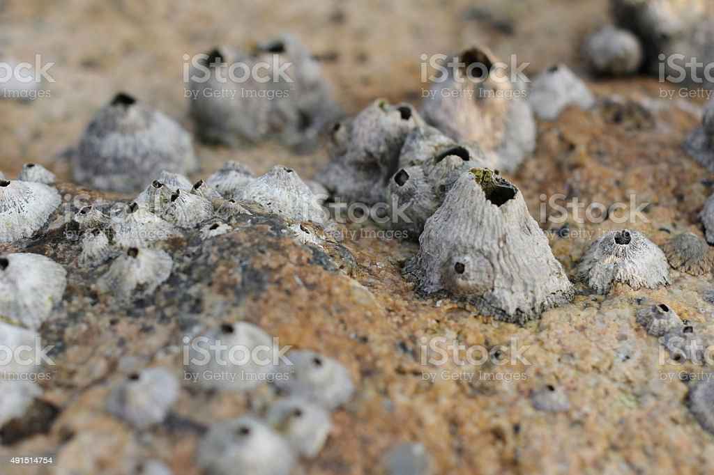 Common rock barnacle stock photo