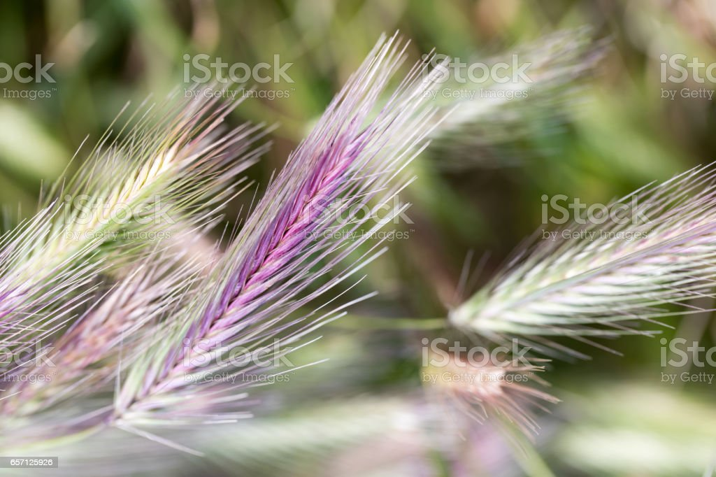 Common Rye in the field stock photo