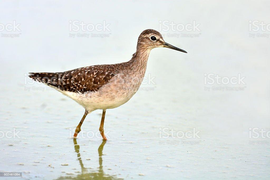 Common Sandpiper bird stock photo