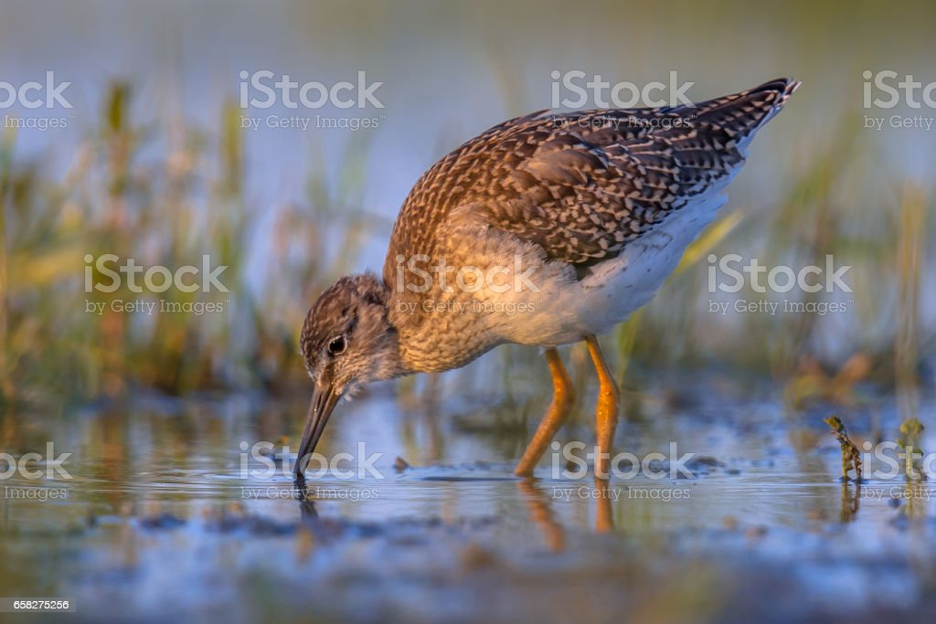 Common sandpiper during migration in dutch Wadden sea stock photo