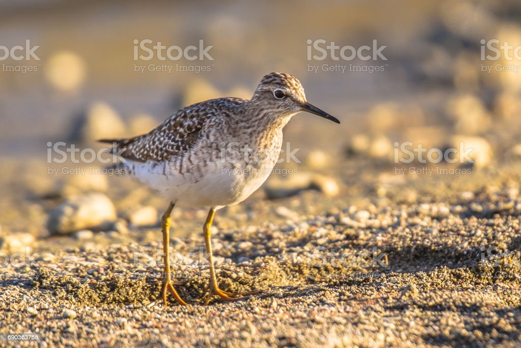 Common sandpiper during migration on Cyprus beach stock photo