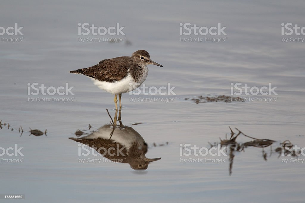 Common sandpiper,Tringa hypoleucos royalty-free stock photo
