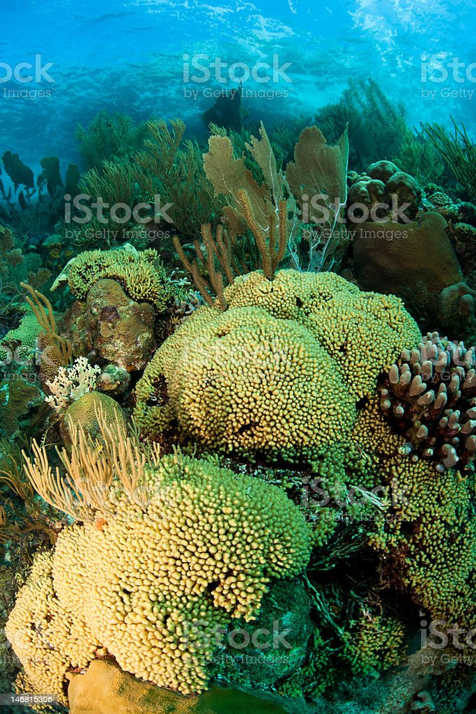 Common Sea Fan and other corals royalty-free stock photo