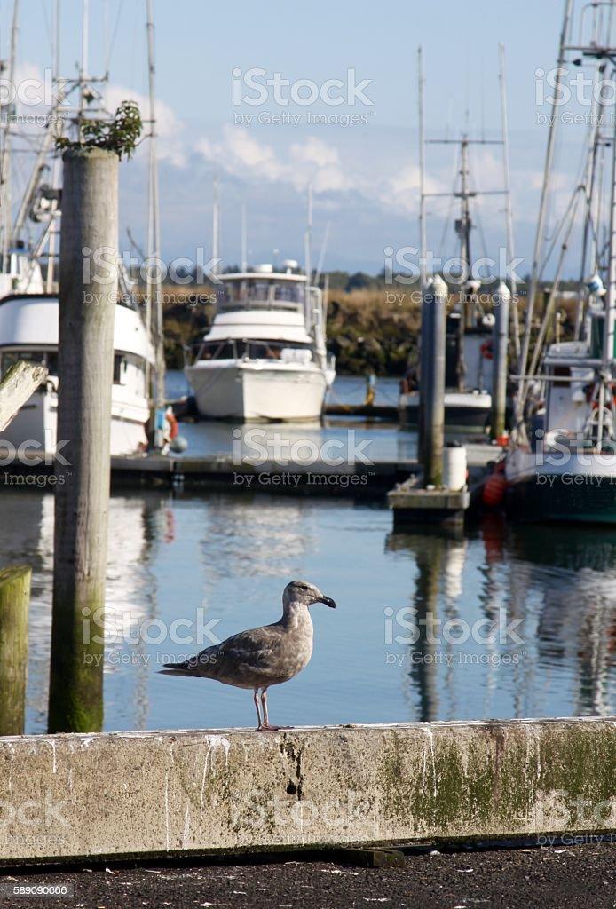 Common Seagull In Boat Harbor stock photo