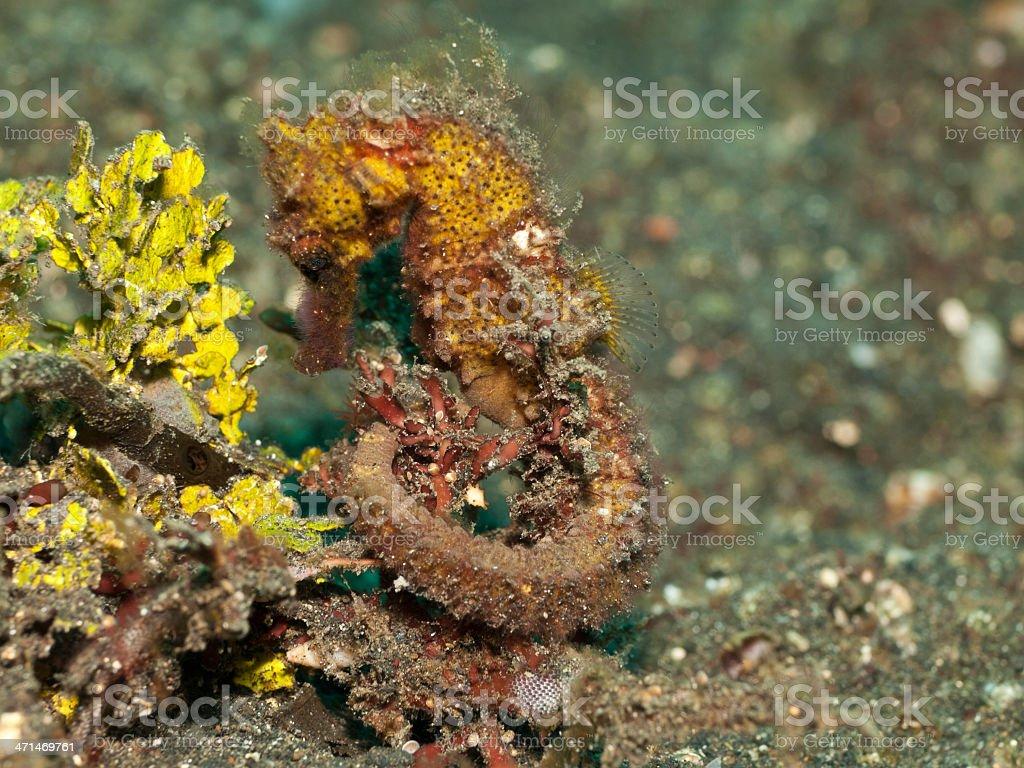 Common seahorse (Hippocampus taeniopterus) stock photo