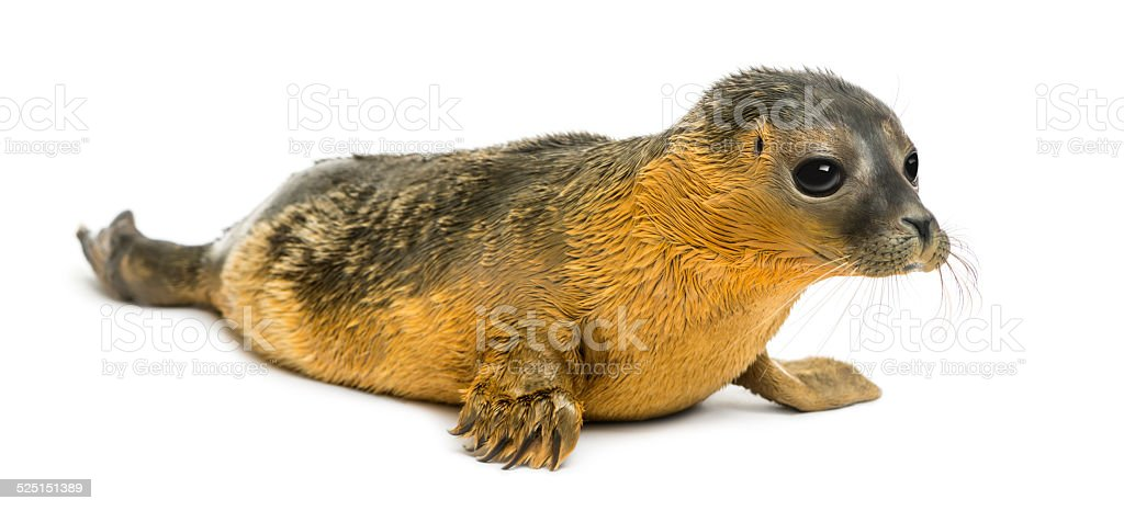 Common seal pup, isolated on white stock photo
