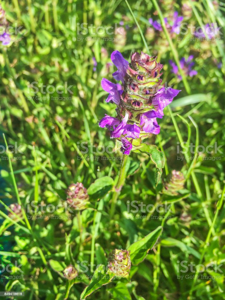 Common self-heal or heal-all Prunella vulgaris stock photo