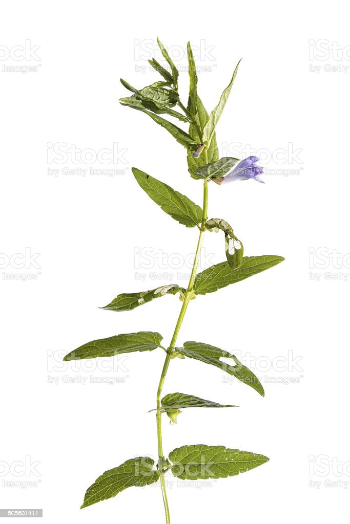 Common skullcap (Scutellaria galericulata) isolated on white stock photo