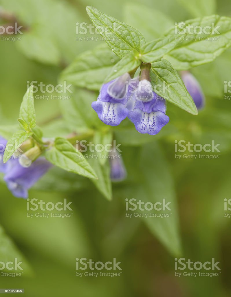 Common Skullcap (Scutellaria galericulata) stock photo