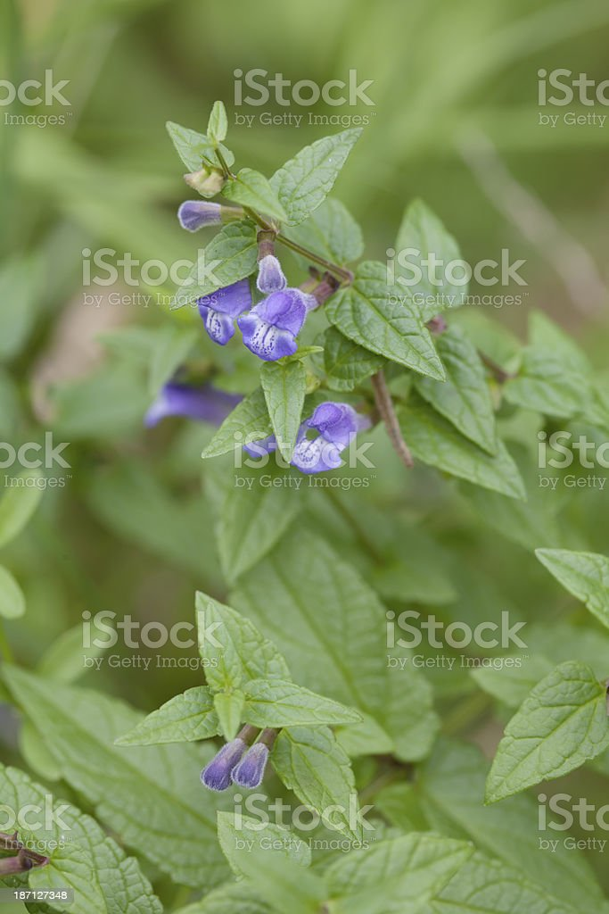 Common Skullcap (Scutellaria galericulata) royalty-free stock photo