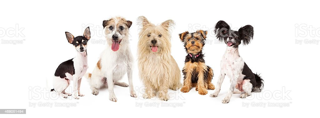 Common Small Breed Dogs stock photo