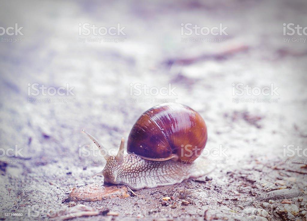 Common snail royalty-free stock photo