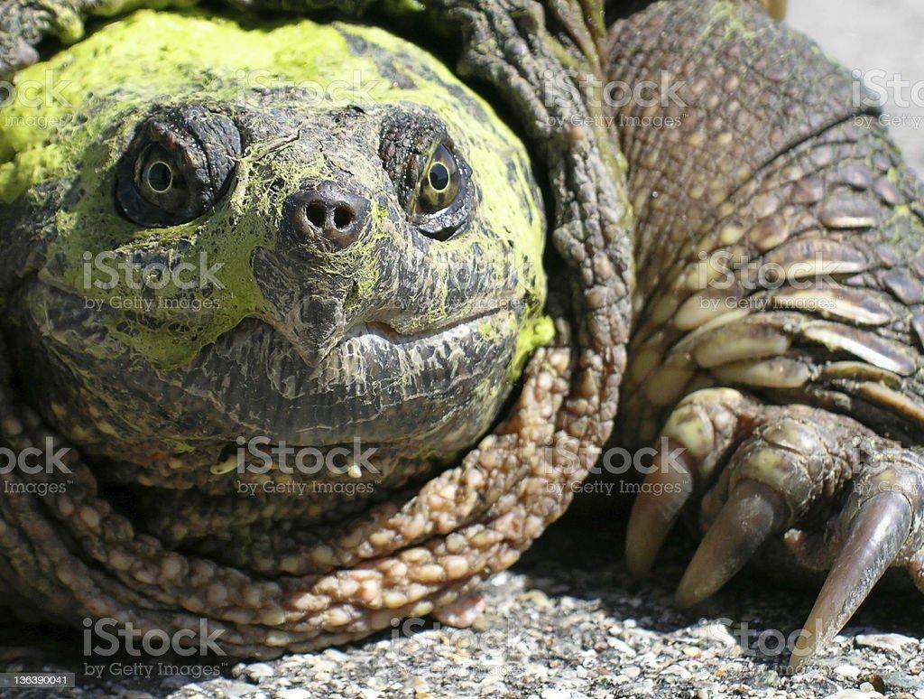 Common Snapping Turtle (Chelydra Serpentina) stock photo
