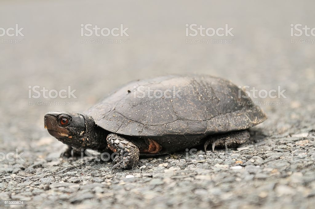 Common Snapping Turtle stock photo